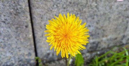 Löwenzahn Blüte